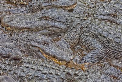 USA, Florida, St. Augustine, Alligators at the alligator farm.