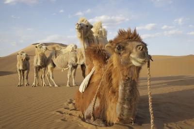 Caravan camels in the Badain Jaran Desert, Inner Mongolia, China
