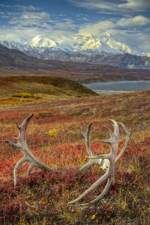 Caribou antlers in front of Mt. McKinley, Denali NP, Alaska, USA