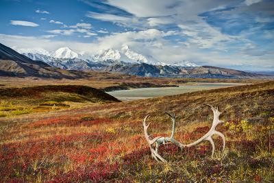 Caribou antlers in front of Mt. McKinley, Denali NP, Alaska, USA