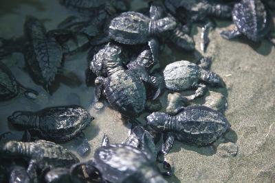 Central America, El Salvador, turtle hatchlings.