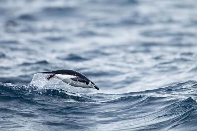 Chinstrap Penguin, Deception Island, Antarctica.