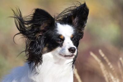 Portrait of a Papillon sitting in the wind.