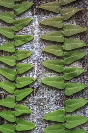 Climbing Plant, Amazon basin, Peru.