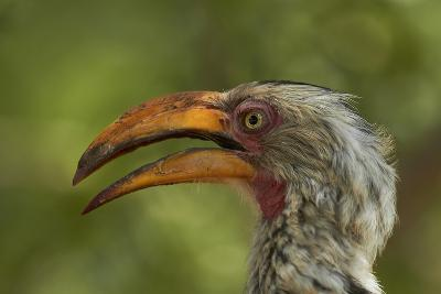 Southern Yellow-billed Hornbill, Kruger National Park, South Africa