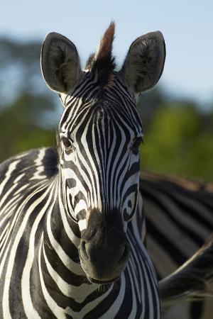 Chapman's zebra, Hwange National Park, Zimbabwe, Africa