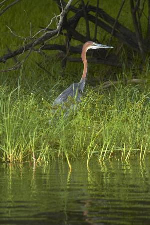 Goliath Heron along the Zambezi River, Zimbabwe, Africa