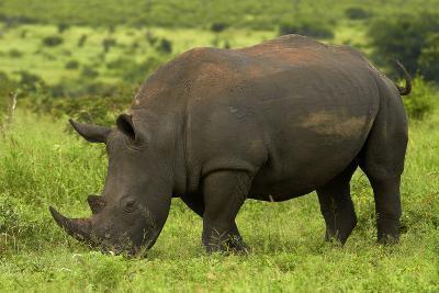 Southern white rhinoceros, Kruger National Park, South Africa