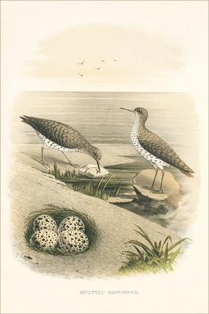 Spotted Sandpiper Nest and Eggs
