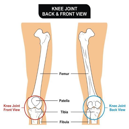 Knee Joint - Bones (Femur, Tibia, Fibula, Patella) Prints by udaix ...