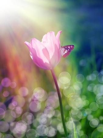 Pink Tulip under the Sunshine