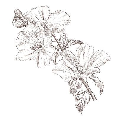 Hand Drawing Hibiscus Flower