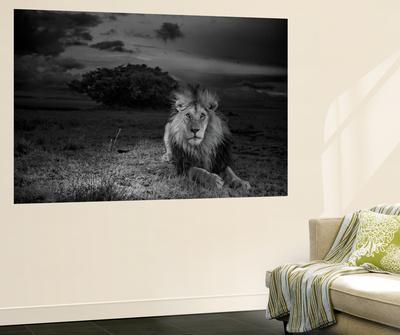A Dark-Maned Male Lion known as C-Boy