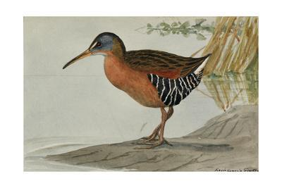 A Painting of a Virginia Rail