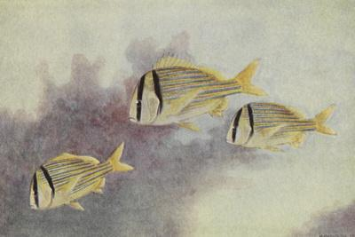 A Painting of Three Porkfish Swimming Past Corals