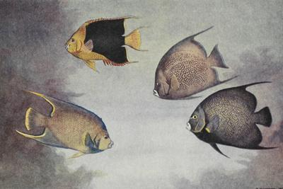 A Painting of Several Different Species of Angelfish