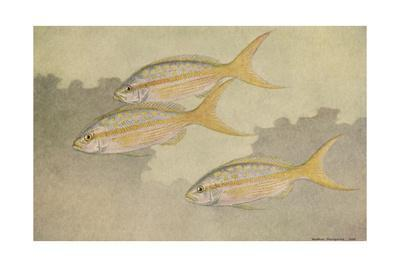A Painting of Three Yellowtail Snapper Swimming Together
