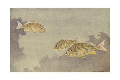 A Painting of Three Blue Striped Grunts