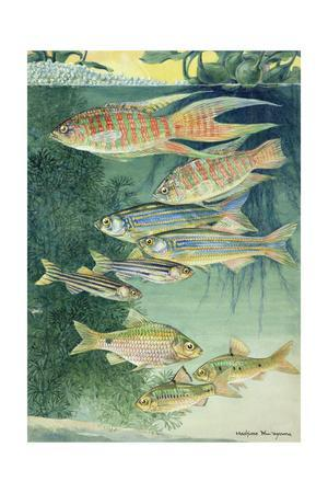 A Variety of Large Scaled Barbs and Danios