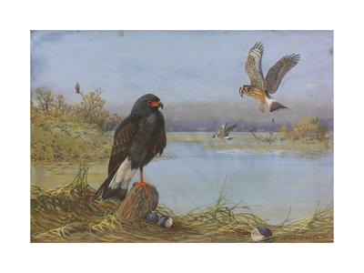 A Painting of an Adult and an Immature Everglade Snail Kite
