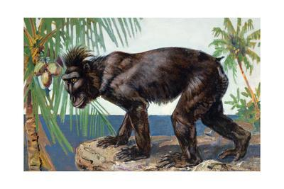 Painting of a Rare Crested Black Macaque, Celebes Black Ape
