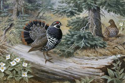 Male Spruce Grouse Courting Hen Spreads His Tail Feathers and Struts