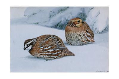 A Painting of Two Bobwhites, Colinus Virginianus Virginianus, in Snow
