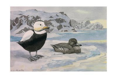 A Painting of an Extinct Pair of Labrador Ducks