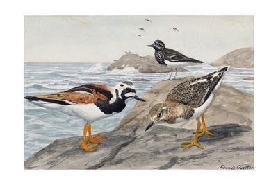 A Painting of a Pair of Ruddy Turnstones and a Black Turnstone