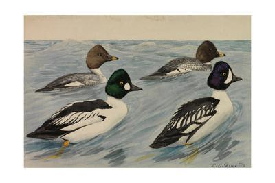A Painting of Breeding Pairs from Two Species of Golden-Eyes