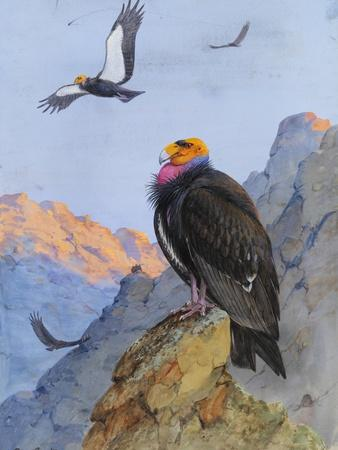 A Painting of Adult and Immature California Condors