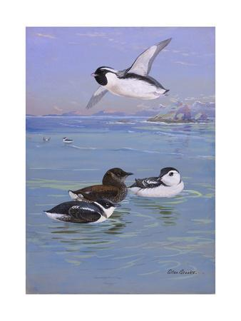 A Painting of Three Species of Murrelet, Swimming and Flying