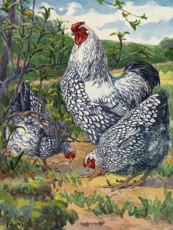 Three Silver-Laced Wyandottes Peck the Earth