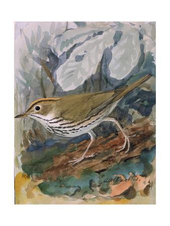 A Painting of an Oven-Bird