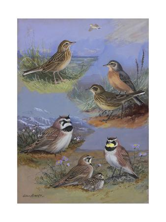 A Painting of Two Species of Pipit and Two Species of Horned Lark