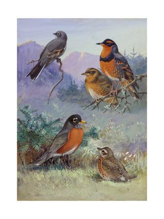 A Painting of Several Species of Robin