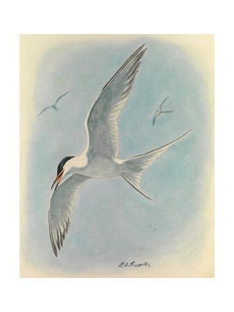 A Painting of a Common Tern Flying with Two, Distant, Companions
