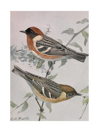 A Painting of a Pair of Bay-Breasted Warblers Perched on a Branch