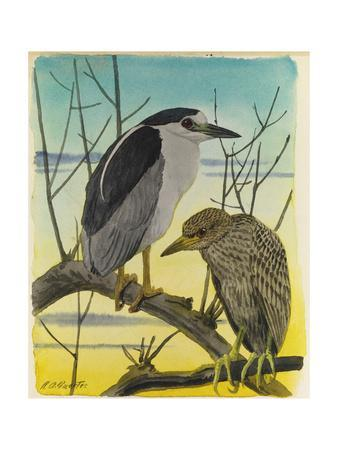 A Painting of an Adult Male and a Juvenile Black-Crowned Night Heron