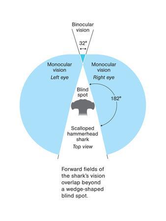 The Binocular Vision of Hammerhead Sharks