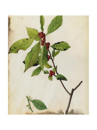 A Painting of American Winterberry and its Fruit and Blossoms