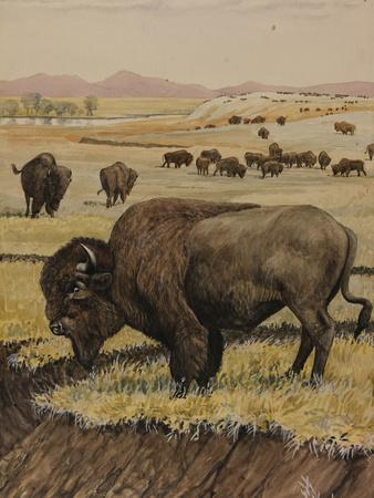 A Painting of an American Bison, or Buffalo, Grazing with its Herd