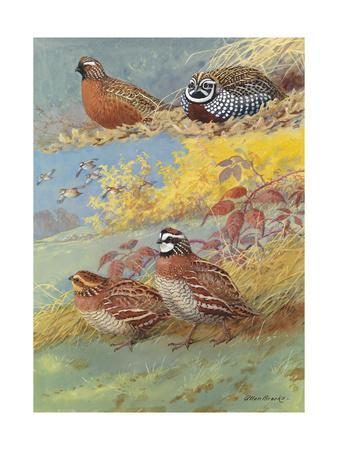 A Painting of Different Species of Bobwhite and Quail