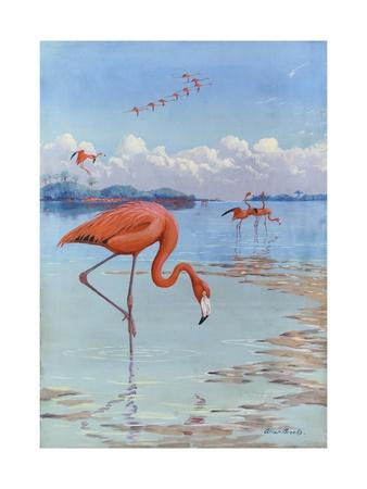 Flamingos Wade in Shallow Tropical and Subtropical Waters