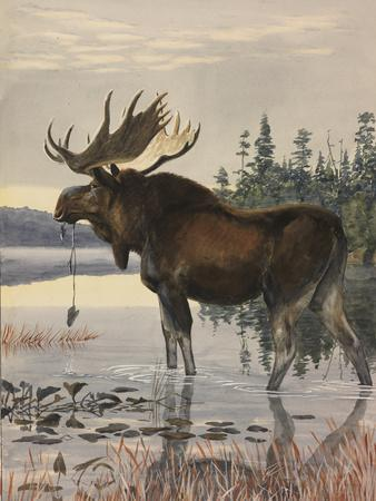 Painting of a Moose Wading in a Lake and Eating Aquatic Plants