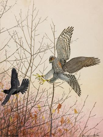 Painting of a European Sparrowhawk Attempting to Catch a Blackbird