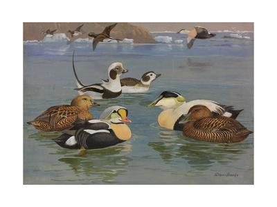 A Painting of Pairs of Eiders and Long-Tailed Ducks