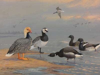 A Painting of Several Species of Brants and Geese
