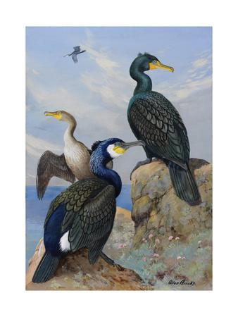 A Painting of Several Species of Cormorant Seated on Rocks
