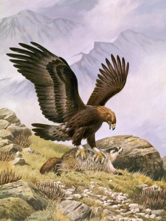 A Golden Eagle Sinks its Talons into a Frightened Hoary Marmot